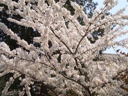 桜が満開です_f0226593_1651198.jpg
