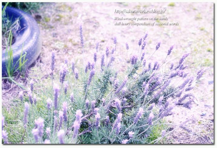 路傍に咲くラベンダー。_f0235723_16541534.jpg