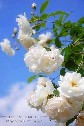 *薔薇散歩*_d0083623_22282851.jpg