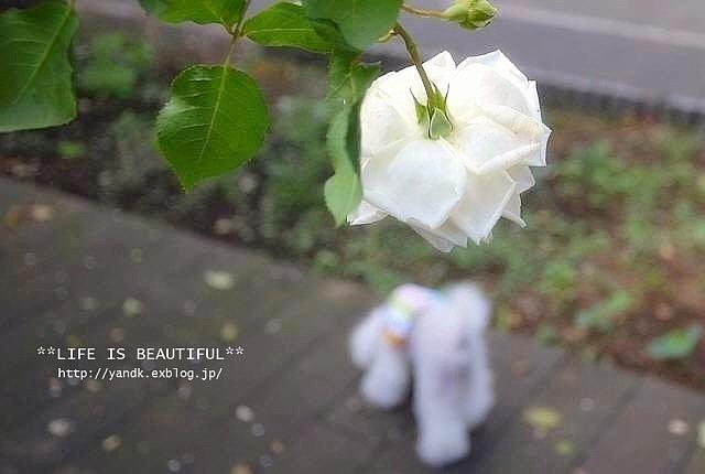 *薔薇散歩*_d0083623_22421778.jpg