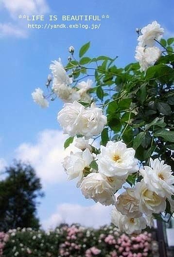 *薔薇散歩*_d0083623_22442333.jpg