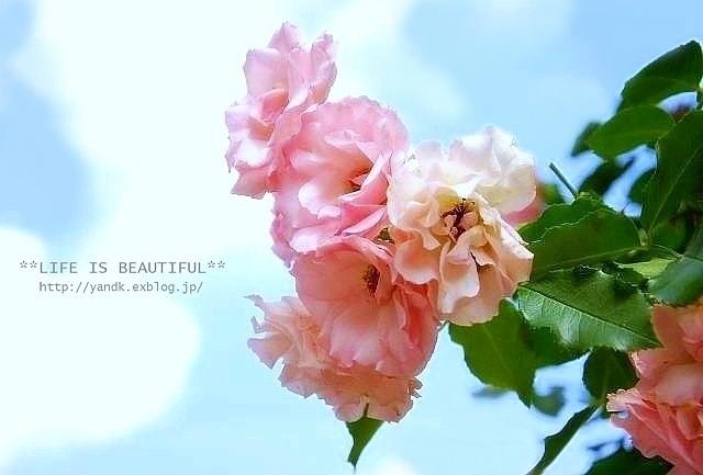 *薔薇散歩*_d0083623_22443329.jpg