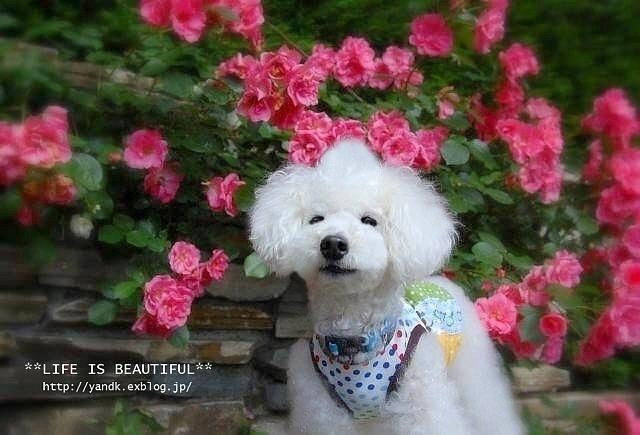 *薔薇散歩*_d0083623_2244821.jpg