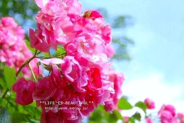 *薔薇散歩*_d0083623_22461830.jpg
