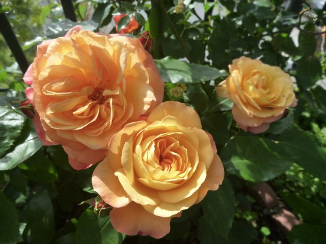アンネのバラについて_b0054727_19462285.jpg