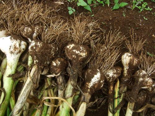 久し振りに野菜畑....野菜も草も成長しています。_b0137932_7261395.jpg