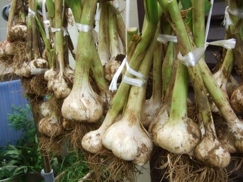 久し振りに野菜畑....野菜も草も成長しています。_b0137932_7263451.jpg