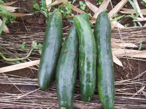 久し振りに野菜畑....野菜も草も成長しています。_b0137932_727307.jpg