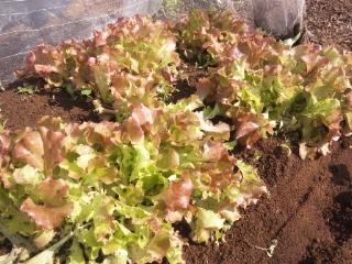 畑の野菜サラダ_e0159969_1713535.jpg
