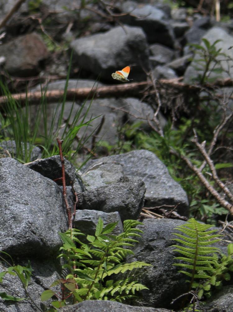 クモマツマキチョウ  飛び回ってうまく撮影できず。  2011.6.4長野県_a0146869_6253612.jpg