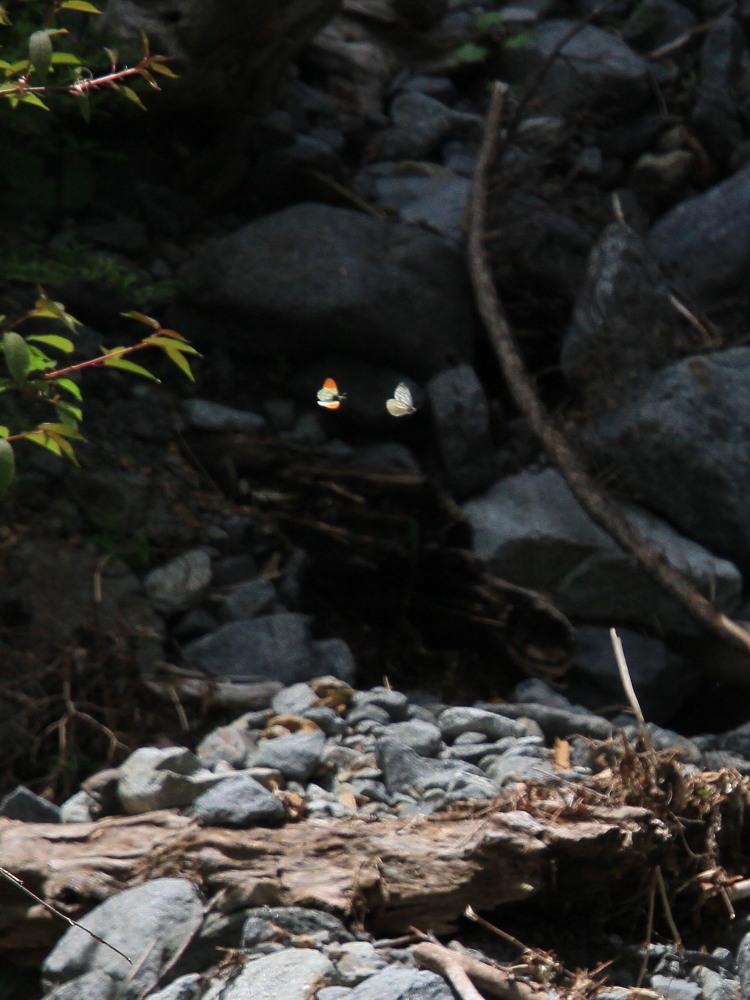 クモマツマキチョウ  飛び回ってうまく撮影できず。  2011.6.4長野県_a0146869_6254750.jpg