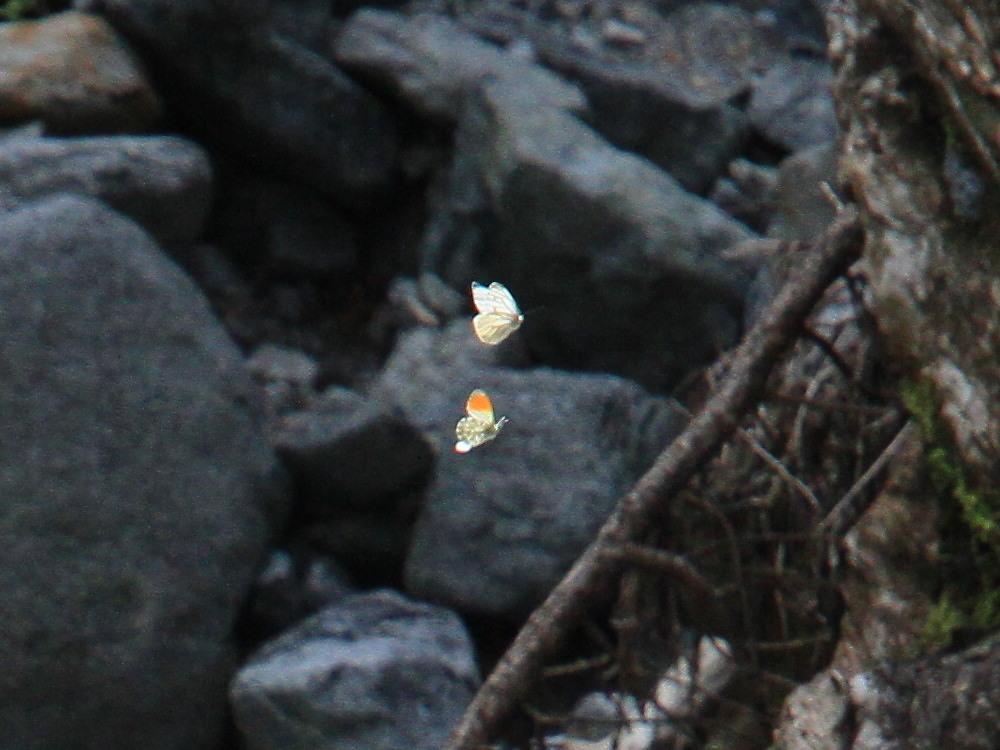 クモマツマキチョウ  飛び回ってうまく撮影できず。  2011.6.4長野県_a0146869_6255627.jpg