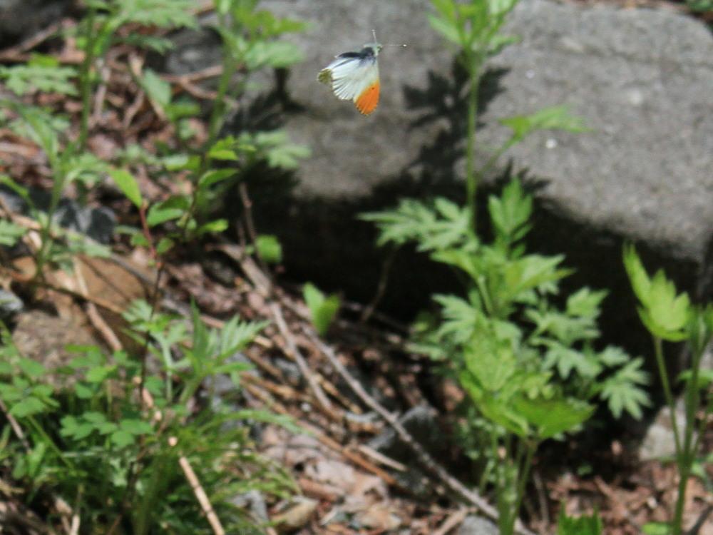 クモマツマキチョウ  飛び回ってうまく撮影できず。  2011.6.4長野県_a0146869_6261857.jpg