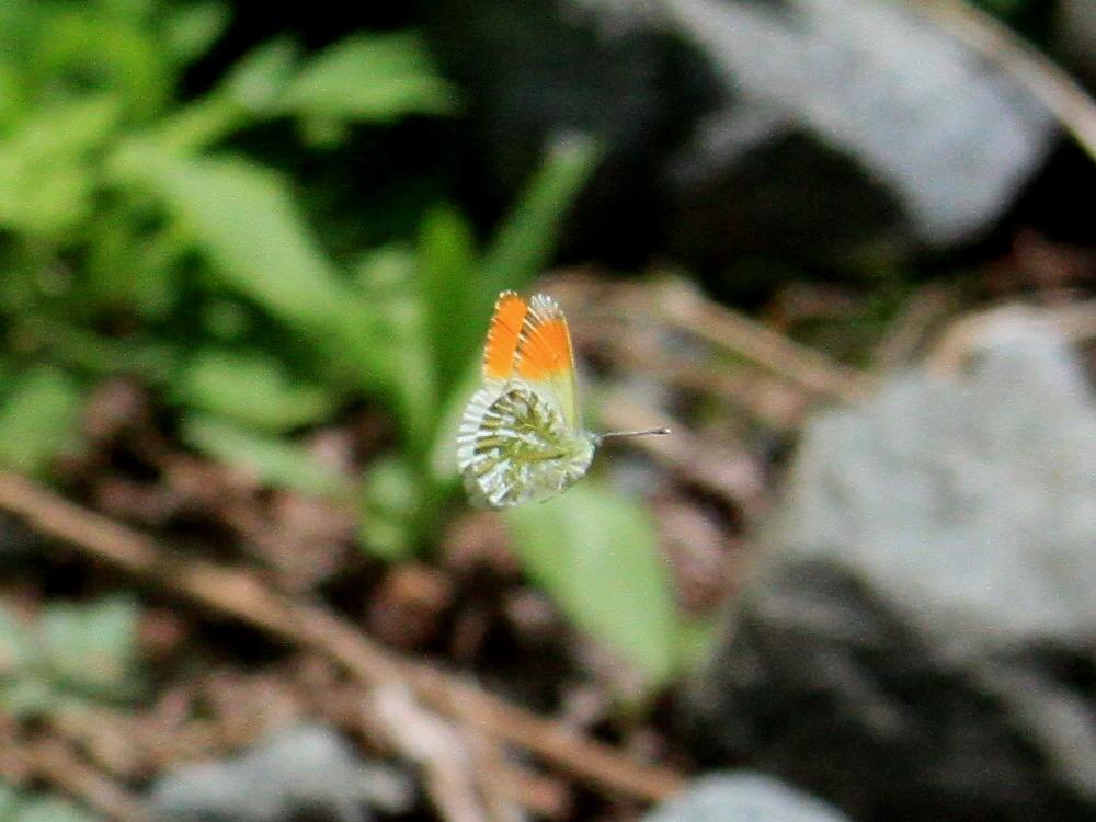 クモマツマキチョウ  飛び回ってうまく撮影できず。  2011.6.4長野県_a0146869_6262940.jpg