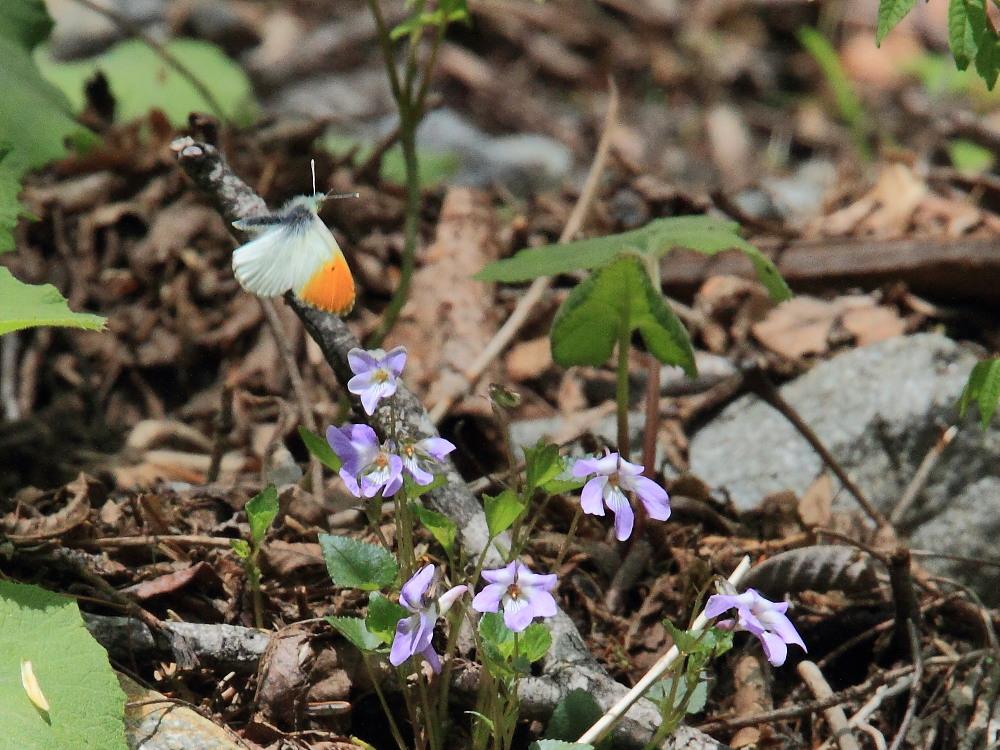 クモマツマキチョウ  飛び回ってうまく撮影できず。  2011.6.4長野県_a0146869_626496.jpg