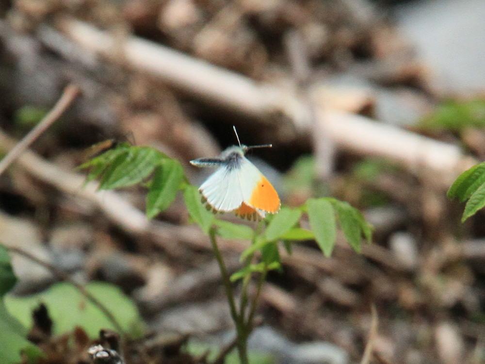 クモマツマキチョウ  飛び回ってうまく撮影できず。  2011.6.4長野県_a0146869_6265814.jpg