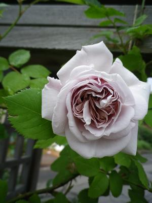 家のバラ・2_e0086738_23264071.jpg