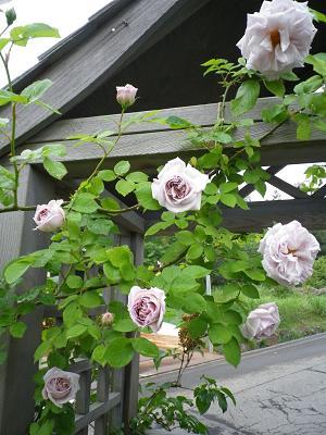 家のバラ・2_e0086738_23281859.jpg