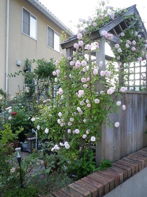 家のバラ・2_e0086738_23331133.jpg