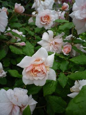 家のバラ・2_e0086738_23361426.jpg