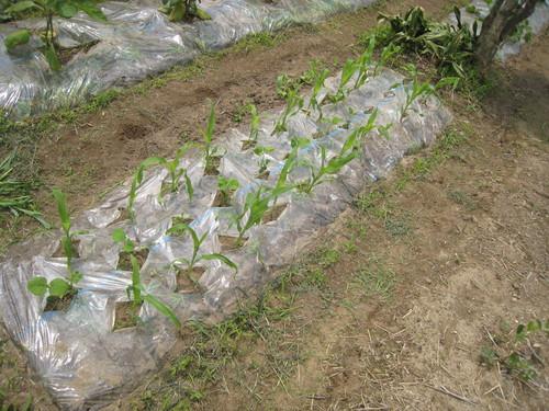 今週の農作業と畑の様子_e0121558_23522149.jpg
