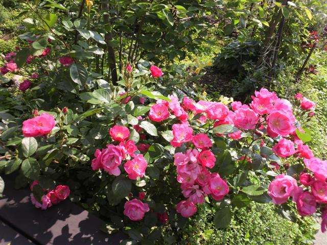 放置気味の庭_b0132338_1133417.jpg