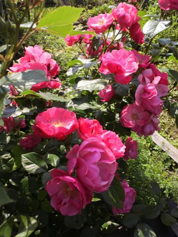 放置気味の庭_b0132338_11344293.jpg