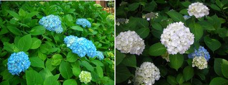 6月は紫陽花が綺麗な季節_d0183174_19181683.jpg
