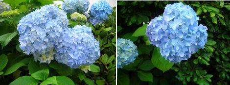 6月は紫陽花が綺麗な季節_d0183174_19254661.jpg
