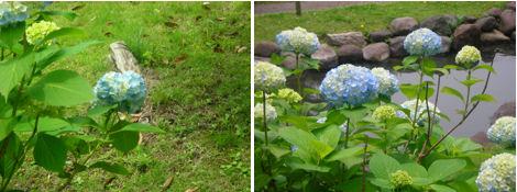 6月は紫陽花が綺麗な季節_d0183174_19285434.jpg