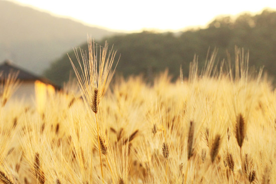 黄金色の小麦を撮る♪_a0189805_2312645.jpg