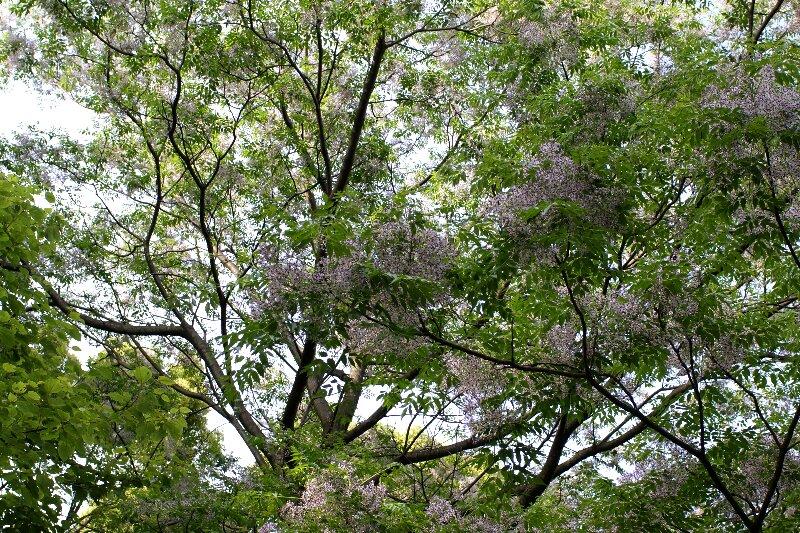大木に鈴なり状態で咲く☆薄紫色の小さな花たち_a0122932_1040376.jpg