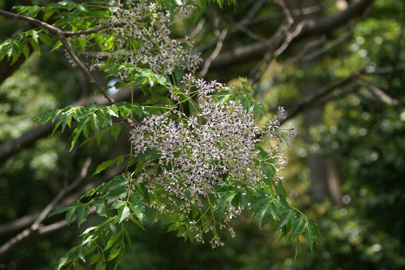 大木に鈴なり状態で咲く☆薄紫色の小さな花たち_a0122932_10414556.jpg