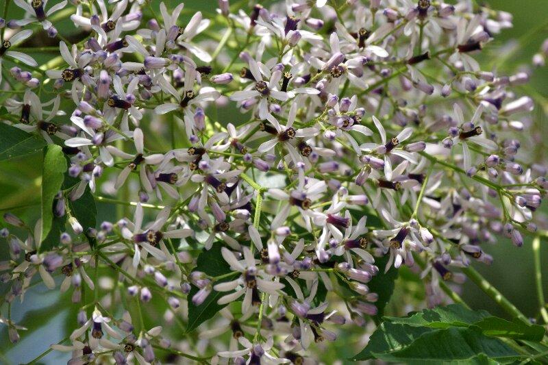 大木に鈴なり状態で咲く☆薄紫色の小さな花たち_a0122932_1042749.jpg