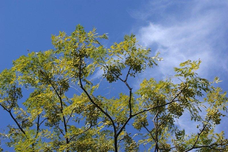 大木に鈴なり状態で咲く☆薄紫色の小さな花たち_a0122932_11204988.jpg
