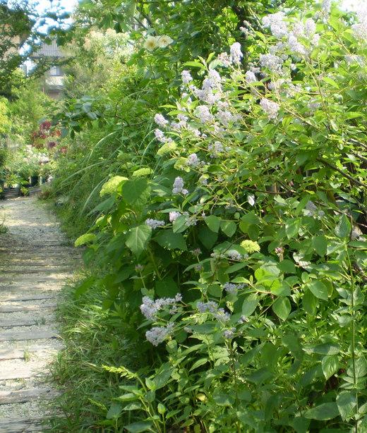 やさしげに咲く「セアノサス・ベルサイユ」_f0139333_0101144.jpg