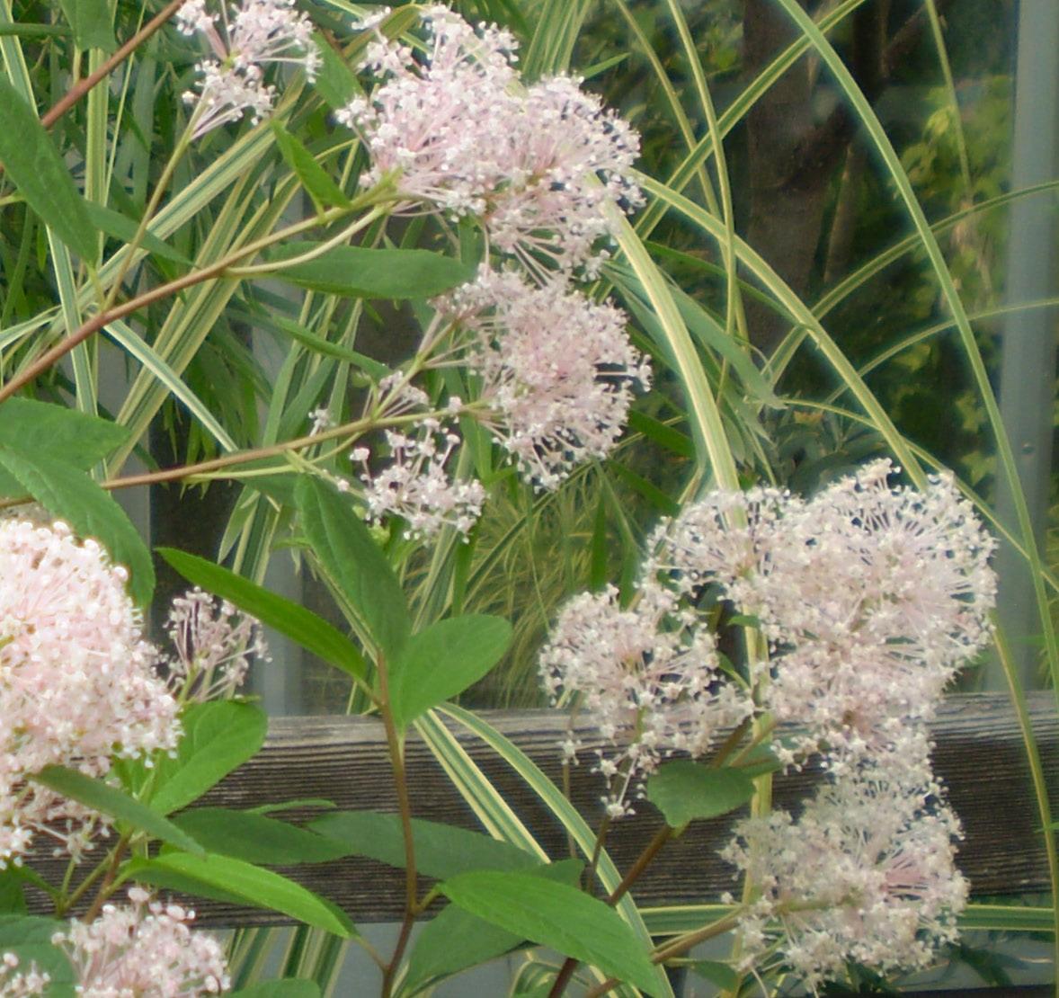 やさしげに咲く「セアノサス・ベルサイユ」_f0139333_043775.jpg