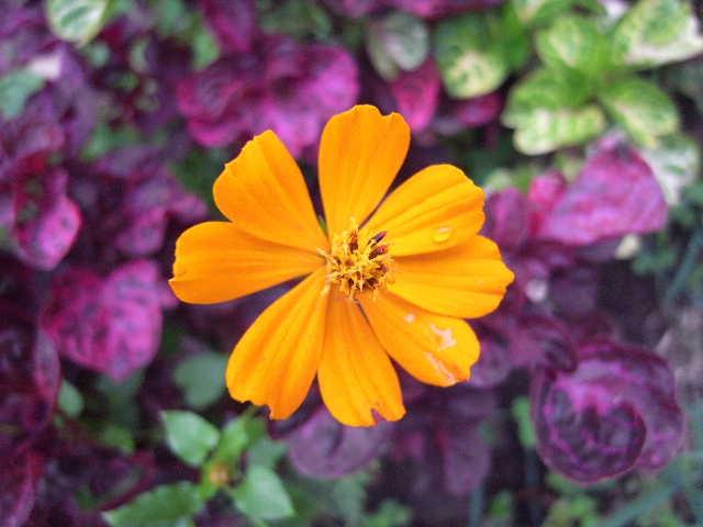 エチオピア(79) 朝のウォンドゲネット・リゾートと花々_c0011649_6503211.jpg