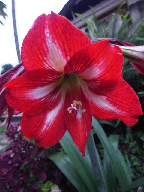 エチオピア(79) 朝のウォンドゲネット・リゾートと花々_c0011649_6505884.jpg