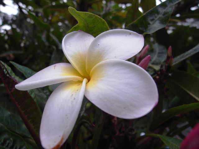エチオピア(79) 朝のウォンドゲネット・リゾートと花々_c0011649_6541511.jpg