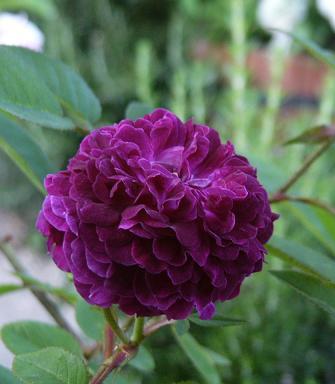 バラ 素敵な紫玉!_f0029571_0115576.jpg