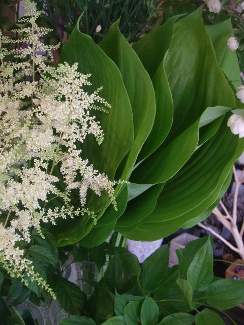 オークリーフ(紫陽花の季節)_f0049672_14114974.jpg