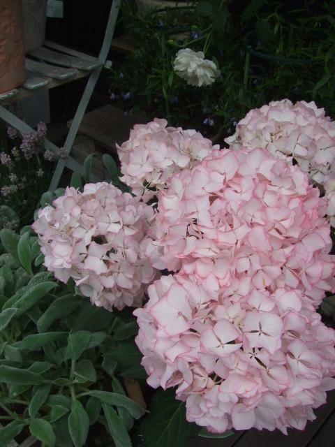 オークリーフ(紫陽花の季節)_f0049672_1412095.jpg