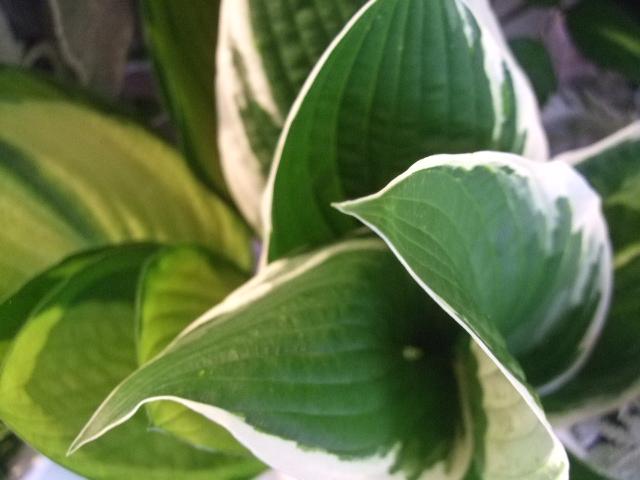 オークリーフ(紫陽花の季節)_f0049672_1412258.jpg