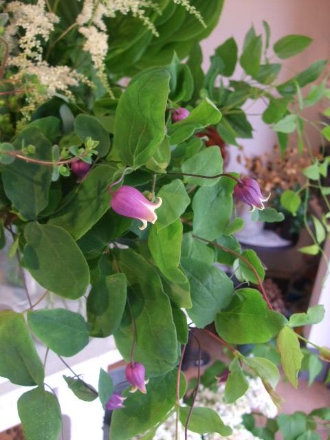 オークリーフ(紫陽花の季節)_f0049672_14122591.jpg