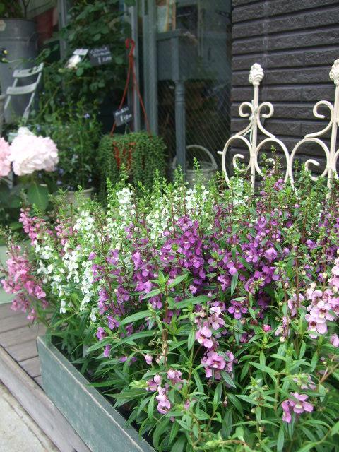 オークリーフ(紫陽花の季節)_f0049672_141475.jpg