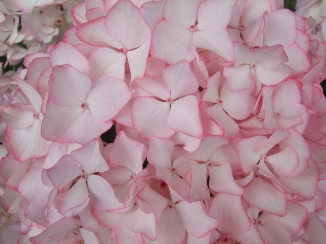 オークリーフ(紫陽花の季節)_f0049672_1421173.jpg
