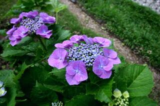 紫陽花 色々_c0170415_10345633.jpg