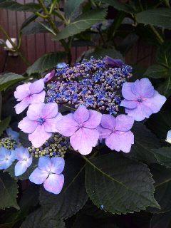 近所の紫陽花_a0103940_765927.jpg