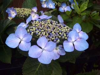 近所の紫陽花_a0103940_765956.jpg